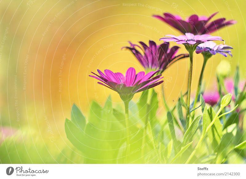 Spätsommer Natur Pflanze Sommer Schönes Wetter Blume Blüte Gartenpflanzen Sommerblumen Sommerblumenbeet Blühend schön Wärme gelb grün orange rosa Warmherzigkeit