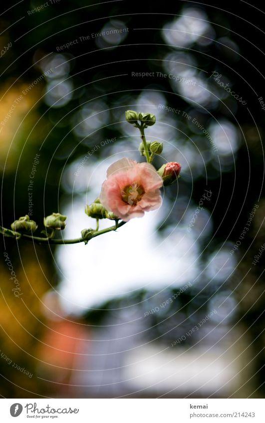 Blumig Natur schön Blume Pflanze Sommer Blatt Blüte rosa Umwelt Rose Wachstum Schönes Wetter Blütenknospen Licht Nahaufnahme Wildpflanze