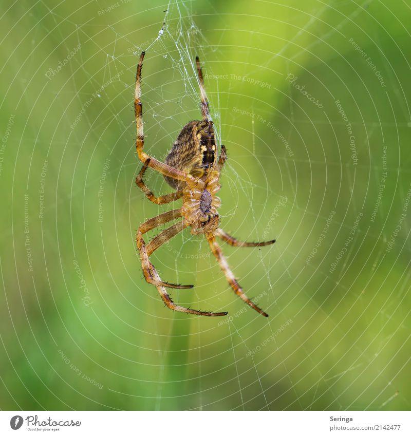 Im Netz Tier Wildtier Spinne Tiergesicht 1 hängen Kreuzspinne Spinnennetz Spinnenbeine Farbfoto mehrfarbig Außenaufnahme Nahaufnahme Detailaufnahme Menschenleer