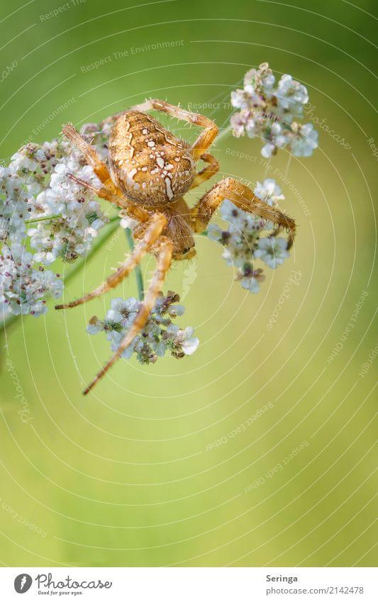 Lauerstellung einer Kreuzspinne Umwelt Natur Landschaft Pflanze Tier Blume Gras Sträucher Wildpflanze Garten Park Wiese Wald Wildtier Spinne Tiergesicht 1