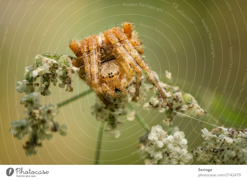 Kreuzspinnenyoga Umwelt Natur Landschaft Pflanze Tier Frühling Sommer Herbst Gras Sträucher Garten Park Wiese Wald Wildtier Spinne Tiergesicht 1 Spinnennetz