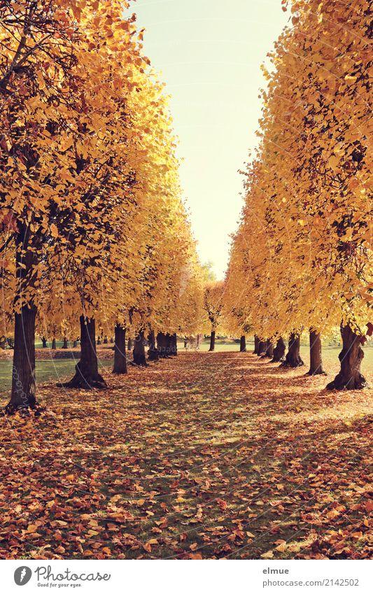 Lindenallee (3) Herbst Schönes Wetter Baum Lindenblatt Herbstlaub Baumstamm Laubbaum Park leuchten blond gelb gold Zufriedenheit Lebensfreude Warmherzigkeit