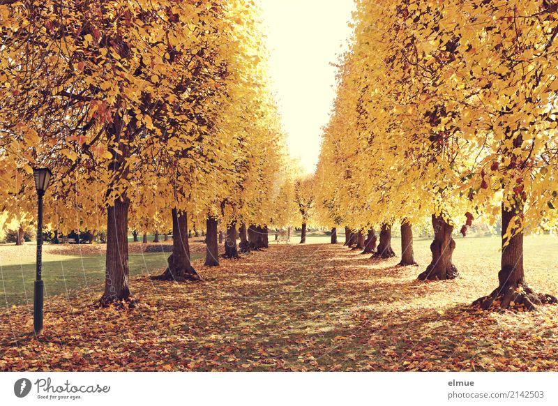 Lindenallee (2) Herbst Schönes Wetter Baum Lindenblatt Herbstlaub Baumstamm Allee Park Laterne leuchten blond trocken Wärme gelb gold Zufriedenheit