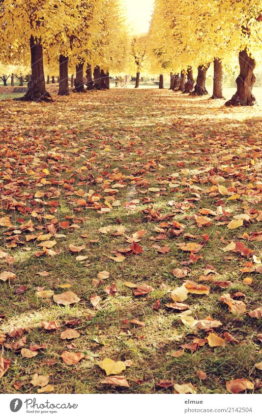 Lindenallee (1) Natur Herbst Schönes Wetter Baum Lindenblatt Herbstlaub Baumstamm Laubbaum Park leuchten alt blond gelb gold Zufriedenheit Lebensfreude