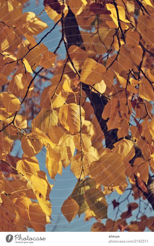 Lindengold Natur Pflanze Herbst Schönes Wetter Baum Lindenblatt Herbstlaub Park hängen blond trocken gelb Akzeptanz ruhig Müdigkeit Sehnsucht Senior