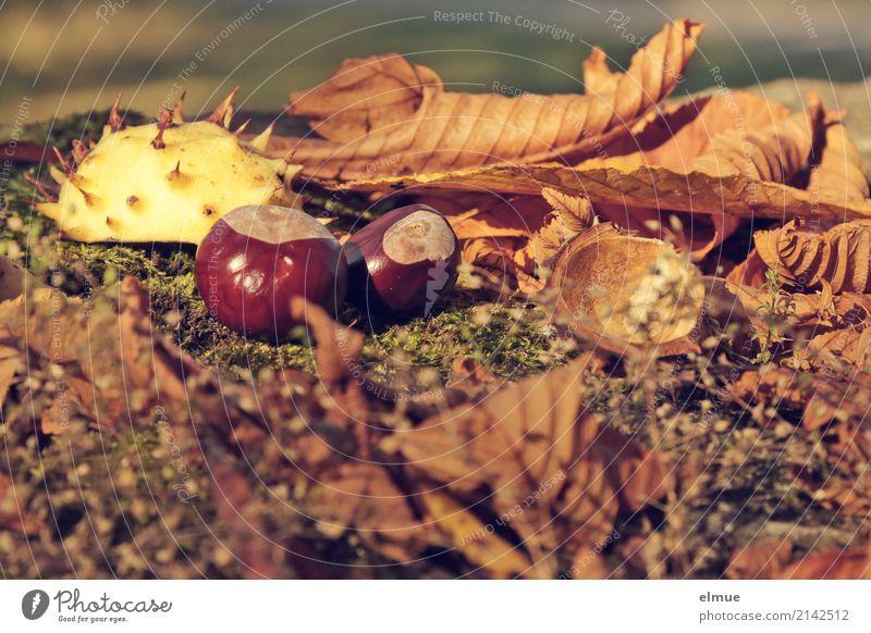 Igelchen Umwelt Natur Herbst Blatt Kastanie Kastanienblatt Kastanienigel Park liegen klein nah stachelig braun Glück Romantik Design entdecken Freizeit & Hobby