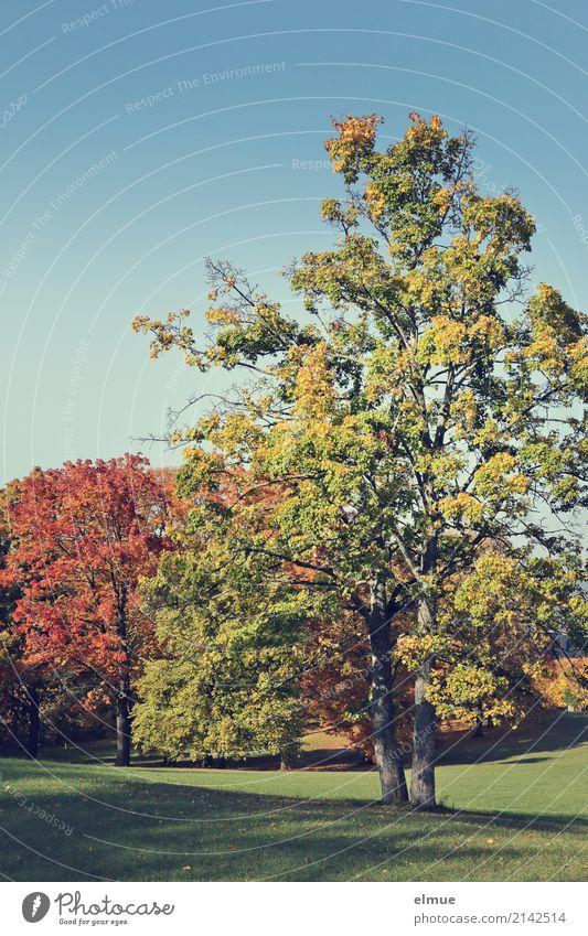 Stille Wolkenloser Himmel Herbst Schönes Wetter Baum Herbstlaub Laubbaum Park leuchten Freundlichkeit gigantisch mehrfarbig Glück Zufriedenheit Lebensfreude