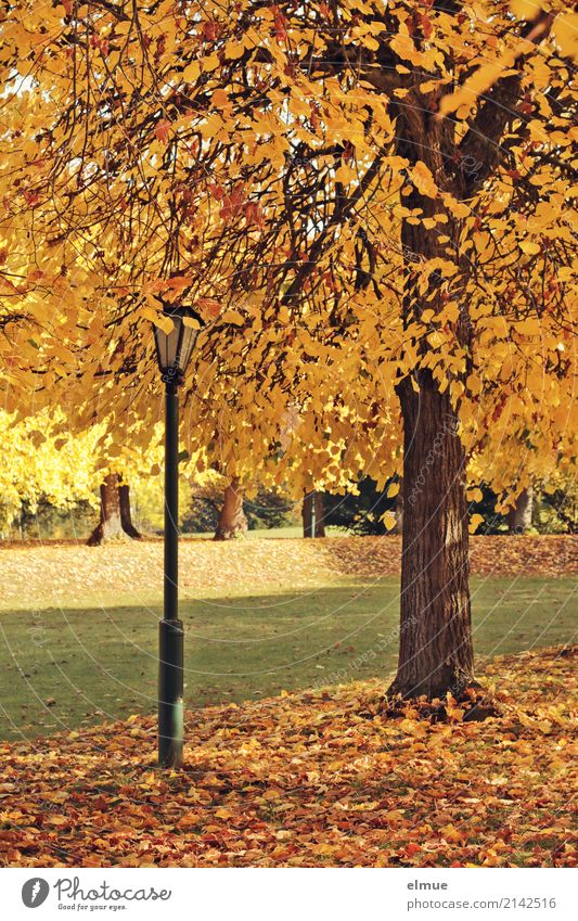 Linde und Laterne Umwelt Herbst Schönes Wetter Baum Lindenblatt Herbstlaub Park leuchten hell Wärme gelb gold Zufriedenheit Romantik Gelassenheit ruhig Hoffnung
