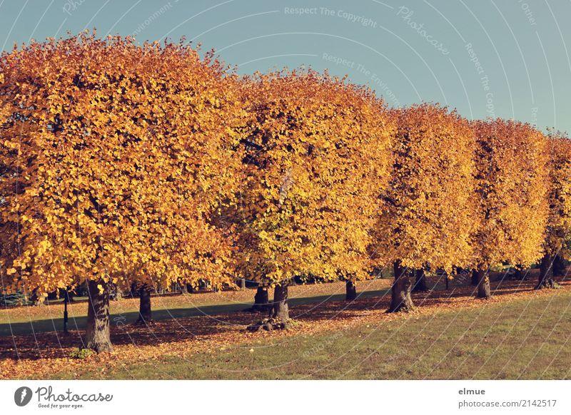 Linden kompakt Herbst Schönes Wetter Baum Lindenlaub Herbstlaub Laubbaum Park blond hell gelb gold Akzeptanz Schutz Romantik ruhig Sehnsucht Einsamkeit