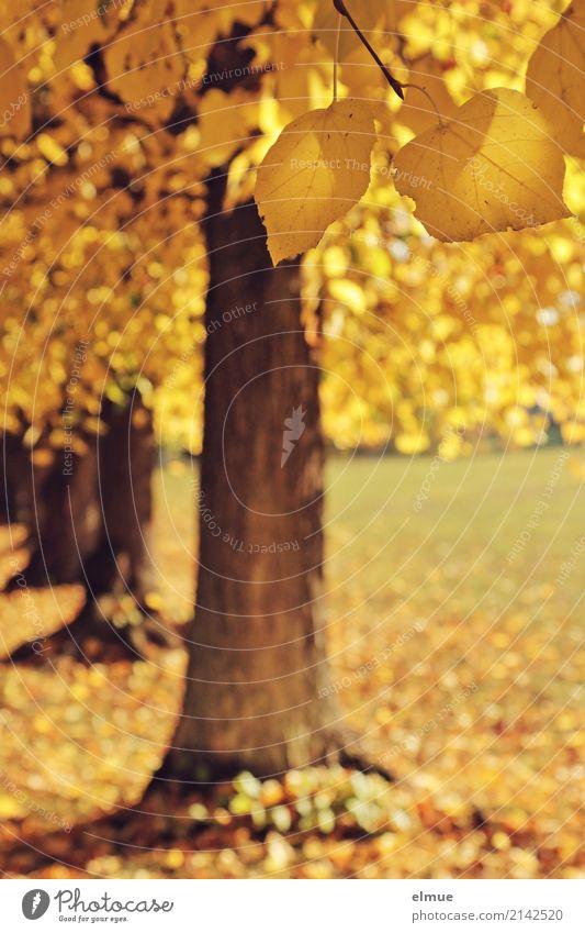 Goldener Herbst Natur Schönes Wetter Baum Linde Lindenblatt Park Vergänglichkeit Herz-/Kreislauf-System Herbstspaziergang hängen leuchten ästhetisch blond gelb