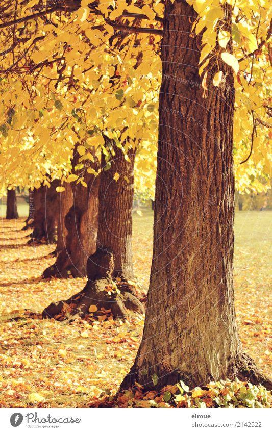 alt wie ein Baum ... Umwelt Sonnenlicht Herbst Linde Lindenblatt Baumstamm Herbstlaub Park leuchten blond hell gelb gold Zufriedenheit Warmherzigkeit Romantik