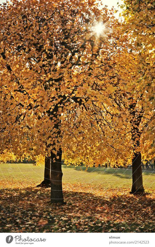Sonnenlinden Natur Herbst Schönes Wetter Baum Linde Lindenblatt Herbstlaub Baumstamm Park leuchten blond gelb gold Gefühle Glück Romantik Gelassenheit ruhig