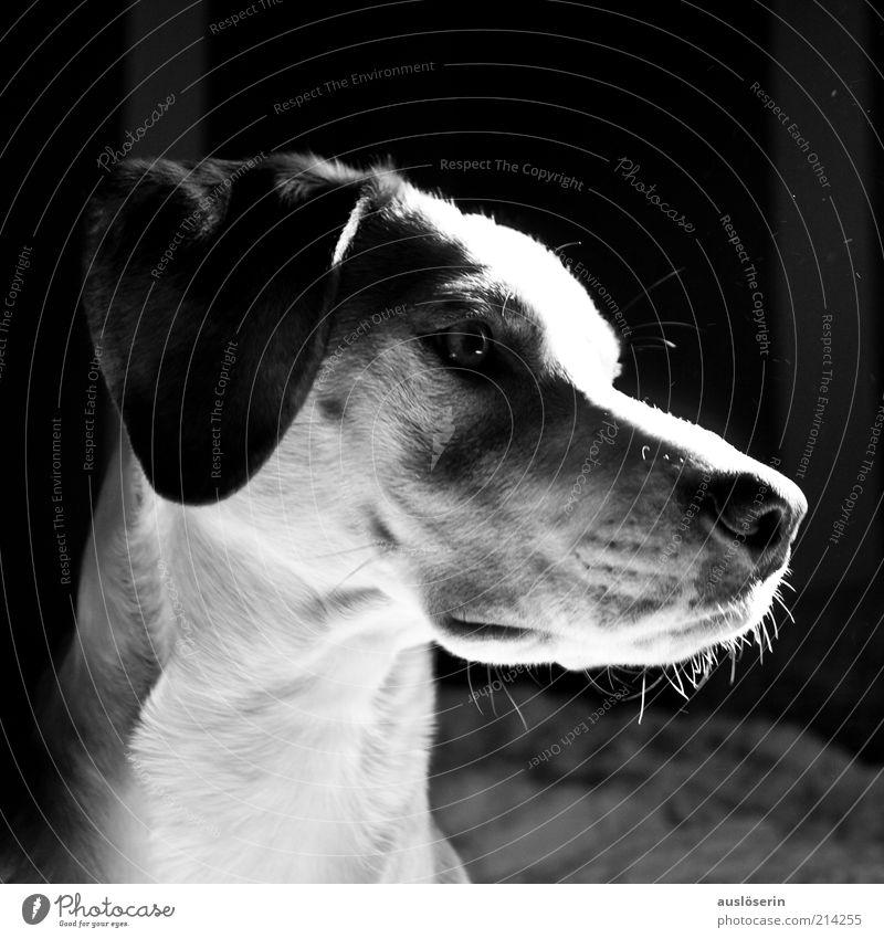 Lightning Dog Tier Haustier Hund 1 beobachten Blick ästhetisch Freundlichkeit Fröhlichkeit schön natürlich grau schwarz weiß Stimmung Freude Begeisterung