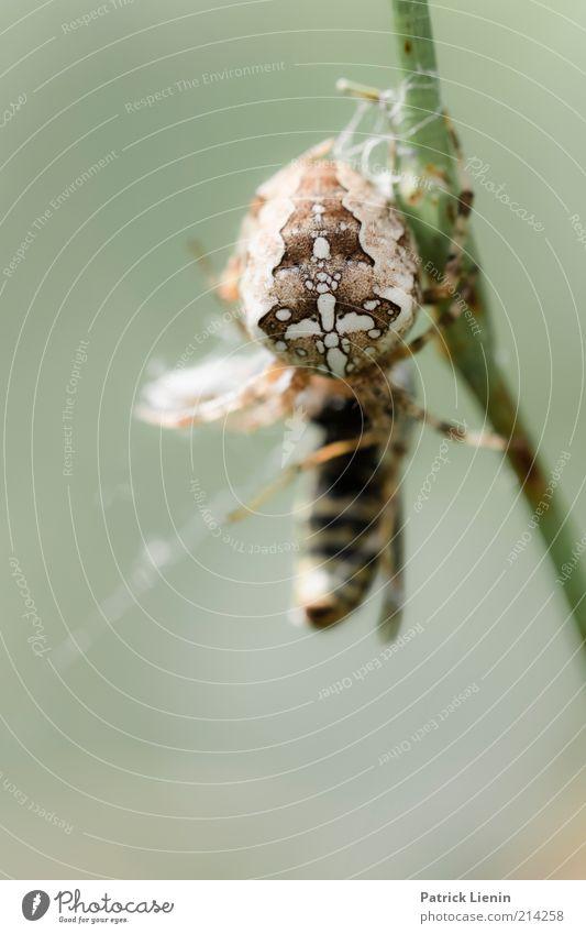 Spinne vs. Wespe Natur Sommer Tier Stimmung Angst Umwelt authentisch Insekt gruselig Stengel Wildtier Kreuz Ekel kämpfen Fressen