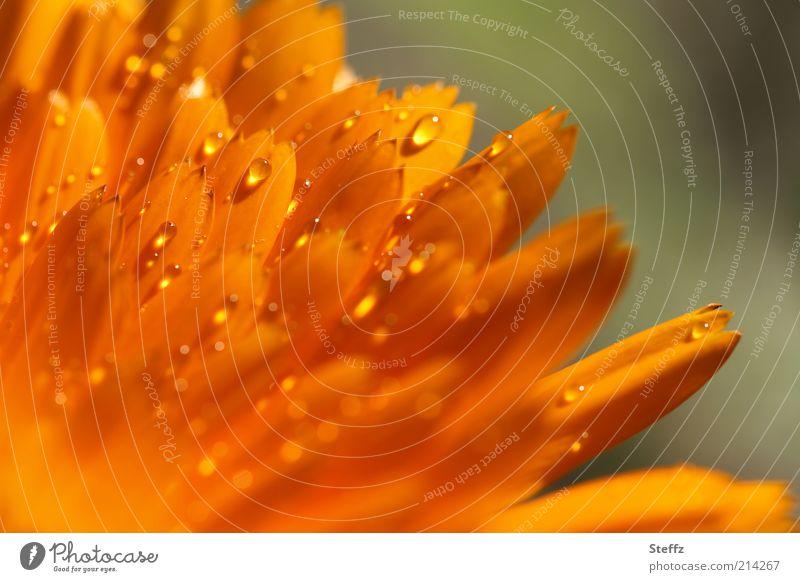 Sommergefühl Natur Pflanze Farbe Blume Blüte Regen orange glänzend Wassertropfen Blühend nass Tropfen Tau Blütenblatt feucht