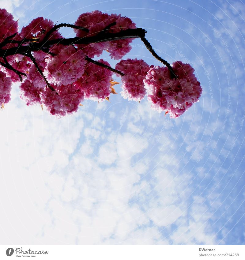 Blütentraum Natur schön Himmel Baum blau Pflanze rot Sommer Wolken Frühling rosa Umwelt frisch Romantik