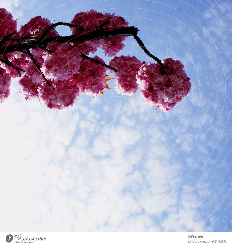 Blütentraum Umwelt Natur Pflanze Himmel Wolken Frühling Sommer Schönes Wetter Baum Blühend leuchten frisch schön positiv Romantik Zierkirsche Ast blau rot rosa