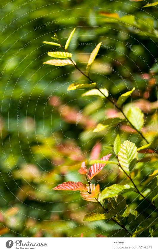 Herbst in der Hecke Umwelt Natur Pflanze Sonnenlicht Schönes Wetter Wärme Sträucher Blatt Grünpflanze Wildpflanze grün rot Farbfoto Gedeckte Farben