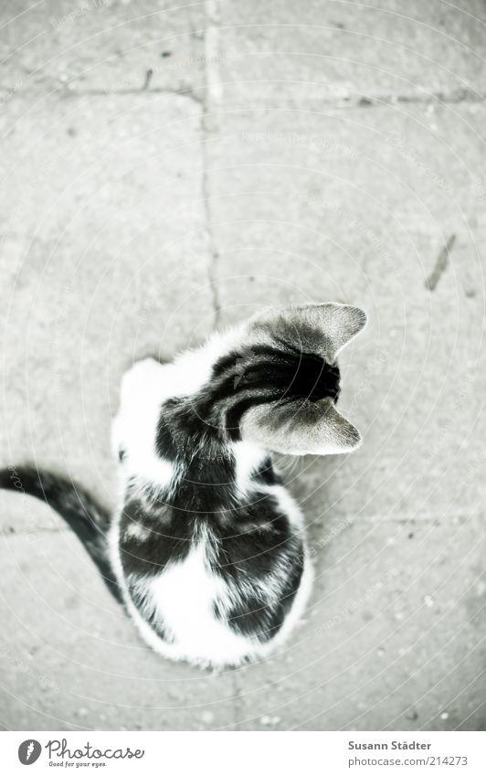 da lang? schön weiß schwarz Tier Katze klein Fell entdecken Wildtier niedlich Haustier links rechts Entscheidung unsicher Katzenbaby