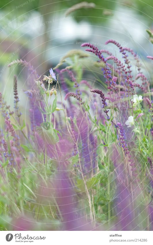 Geburtstagsblumen Umwelt Natur Pflanze Schönes Wetter Blume Gras Sträucher Wiese schön Farbfoto Gedeckte Farben Außenaufnahme Tag Menschenleer grün violett