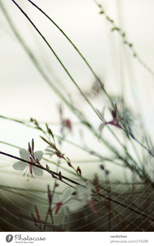 Trauerspiel Umwelt Natur Pflanze Blume Sträucher Blüte dunkel dünn kalt braun grau violett ruhig filigran zart Farbfoto Gedeckte Farben Außenaufnahme