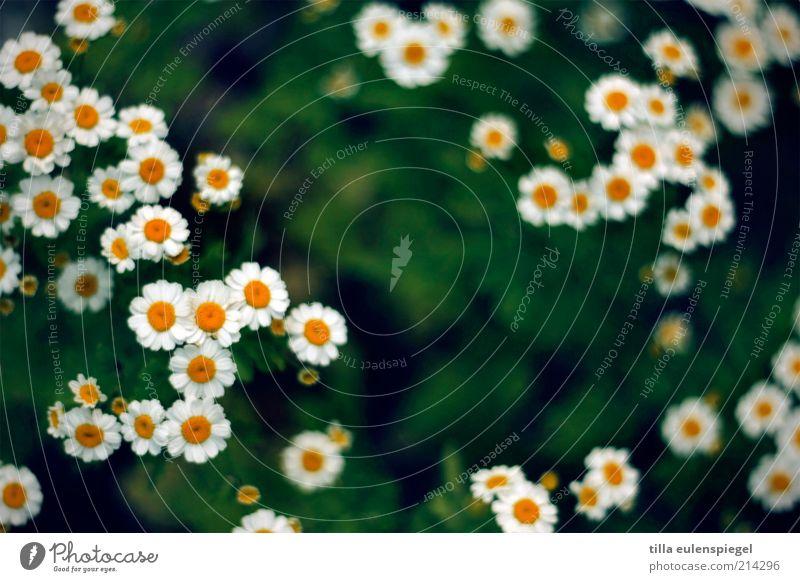 mal wieder ein blümchenbild Natur Pflanze Blume Wiese Blühend natürlich gelb grün weiß Umwelt Blüte Blütenblatt Farbfoto Außenaufnahme Schwache Tiefenschärfe