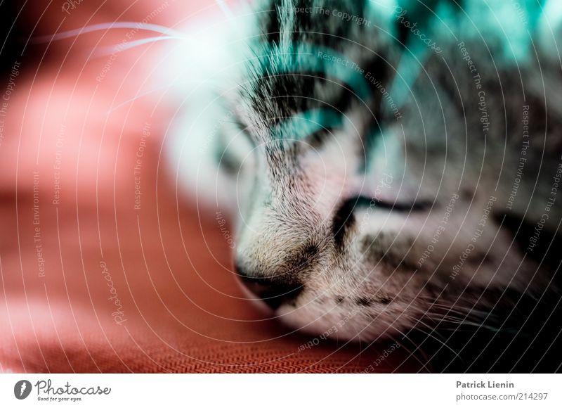 sweet dreams schön weiß Tier Erholung grau Katze Zufriedenheit Stimmung schlafen Tiergesicht liegen Schutz Vertrauen Fell niedlich