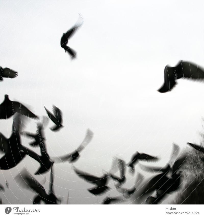 Vanishing |Misguided Ghosts Natur Tier Luft Himmel Vogel Flügel Tiergruppe Schwarm Bewegung fliegen wild schwarz flüchten Schwarzweißfoto Außenaufnahme