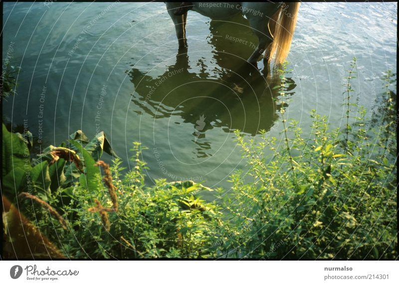 Pferdefussbad Natur Wasser Pflanze Sommer Freude Tier Freiheit Gras Freizeit & Hobby Schwimmen & Baden natürlich Wachstum Sträucher Pferd einzigartig Sauberkeit