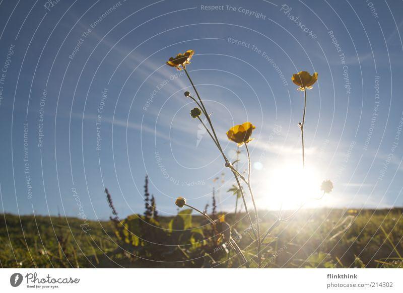 Sommerabend Himmel grün schön Sonne Blume gelb Wiese Frühling Blühend Stengel Schönes Wetter