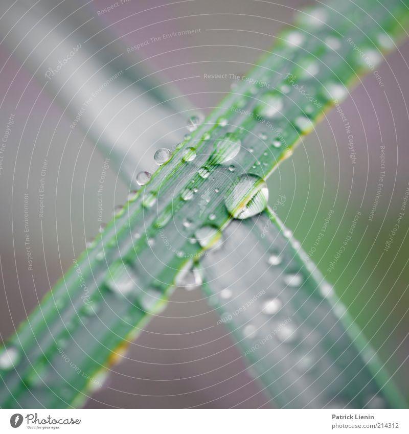 The X Umwelt Natur Pflanze Urelemente Wasser Wassertropfen Klima Wetter schlechtes Wetter Regen Gras Grünpflanze Wildpflanze nass natürlich kreuzen