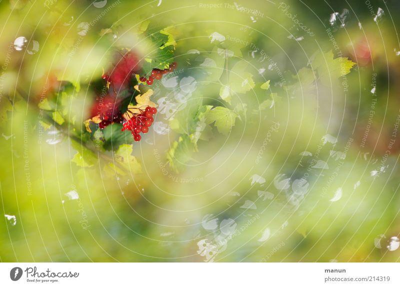 kleine Früchtchen Natur schön Baum Pflanze Blatt Ernährung Herbst glänzend Wachstum Sträucher wild Beeren Reflexion & Spiegelung Frucht Wildpflanze