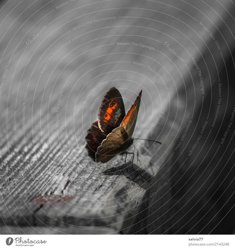 auf dem Holzweg Natur Sommer Tier Schmetterling Flügel Insekt Augenfalter 1 braun gelb grau orange Kontrast Maserung Farbfoto Gedeckte Farben Außenaufnahme