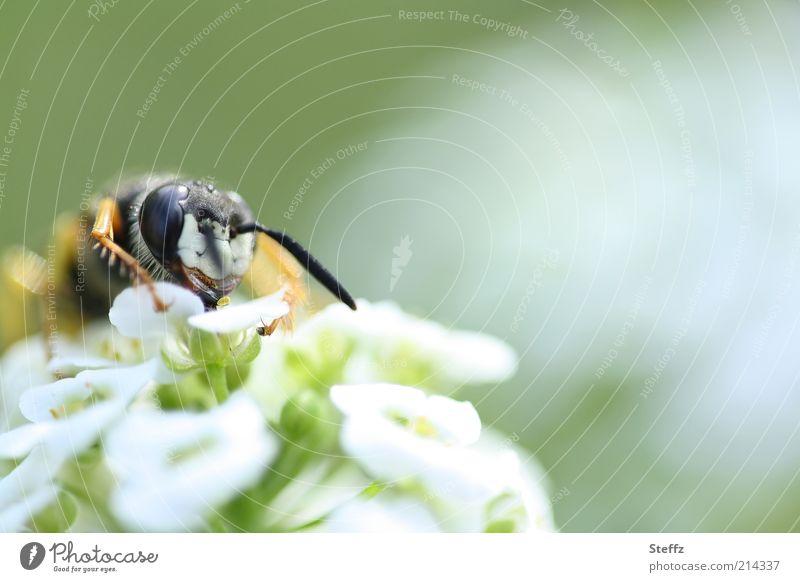 Blütenmahlzeit Natur grün weiß Pflanze Sommer Blume Tier gelb Leben Auge natürlich hell Beine Fliege Blühend