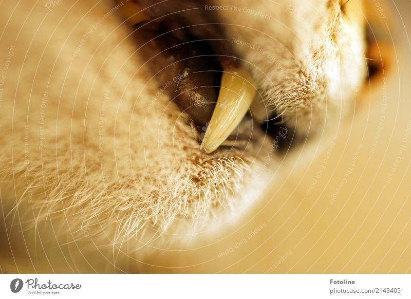 Damit ich dich besser fressen kann! Katze Natur Tier Umwelt natürlich braun nah Haustier Gebiss Fell Tiergesicht Schnauze Katzenkopf Reißzahn Zähne zeigen