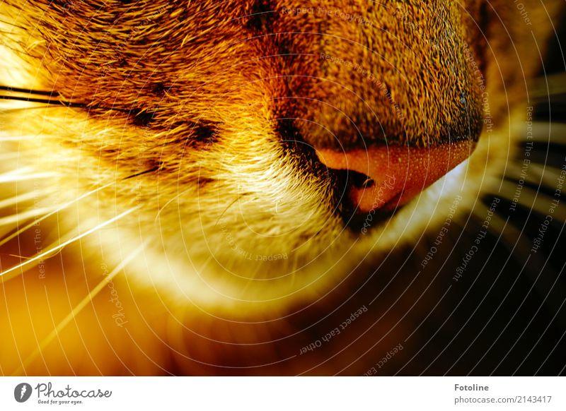 Damit ich dich besser riiiiiiiechen kann! Umwelt Natur Tier Haustier Katze Tiergesicht Fell 1 weich braun Schnurrhaar Schnauze Nase Geruch Katzenkopf Farbfoto