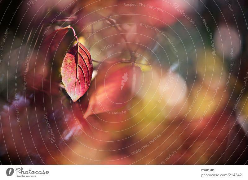 Rotlicht Natur Herbst Baum Sträucher Blatt Herbstlaub herbstlich Herbstfärbung Herbstbeginn leuchten rot Vergänglichkeit Wandel & Veränderung Farbfoto