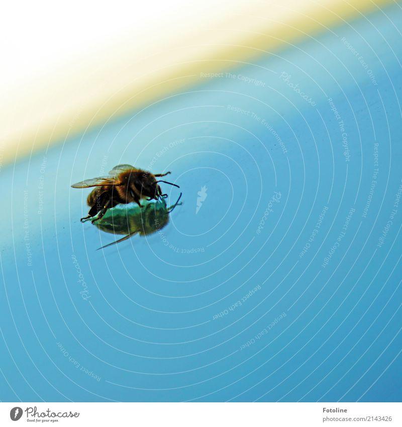 """""""Ich bin sssssssso schön!"""" Umwelt Natur Tier Sommer Biene Flügel 1 frei nah natürlich blau braun Honigbiene Summen Fühler Beine Windschutzscheibe Autofenster"""