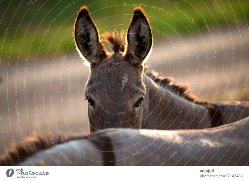 Esel Natur Haustier Nutztier Tiergesicht Streichelzoo Tiergruppe Herde Tierfamilie füttern Fröhlichkeit lustig nah Schutz Geborgenheit Sympathie Freundschaft