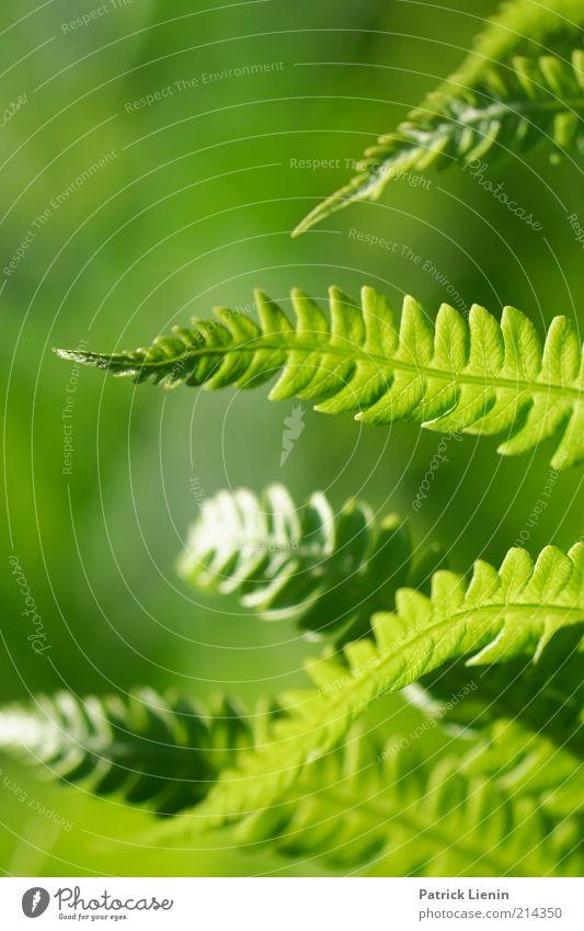 Farn im Abendlicht Umwelt Natur Pflanze Urelemente Sommer Klima Wetter Schönes Wetter Blatt Grünpflanze Wildpflanze Blick leuchten Muster verbreiten Wachstum