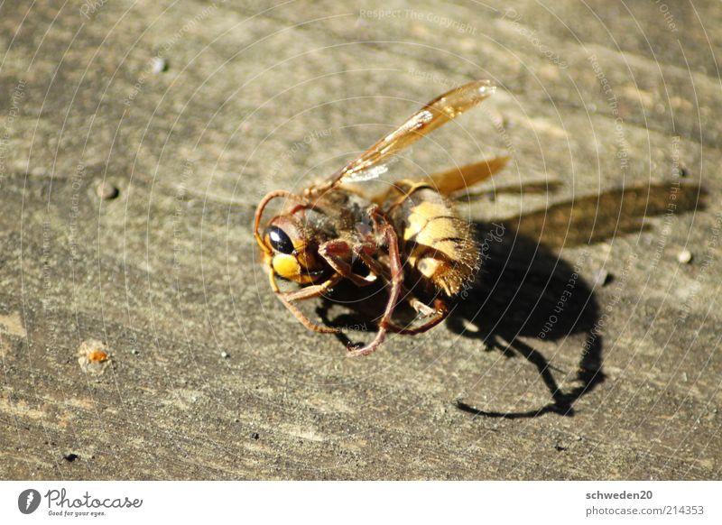 arbeiten bis zum umfallen Tier Totes Tier Biene Tiergesicht Flügel liegen braun gelb Tod Wespen gekrümmt Insekt Farbfoto Außenaufnahme Textfreiraum links