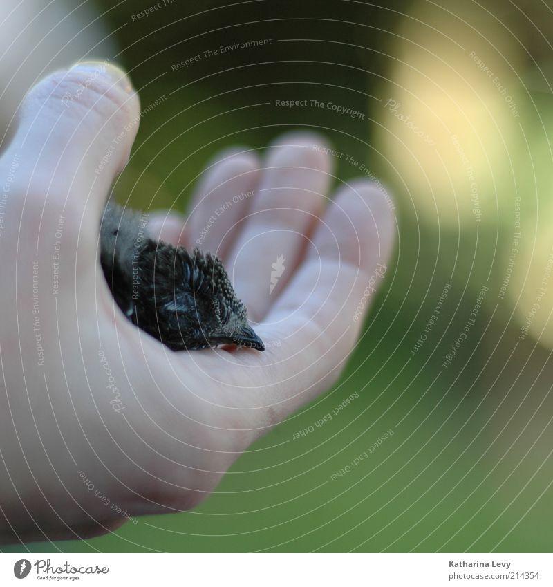 Mauersegler Hand grün Tier schwarz Tod Leben klein Tierjunges Zeit Vogel Wildtier Hilfsbereitschaft Hoffnung Trauer Vergänglichkeit Schutz