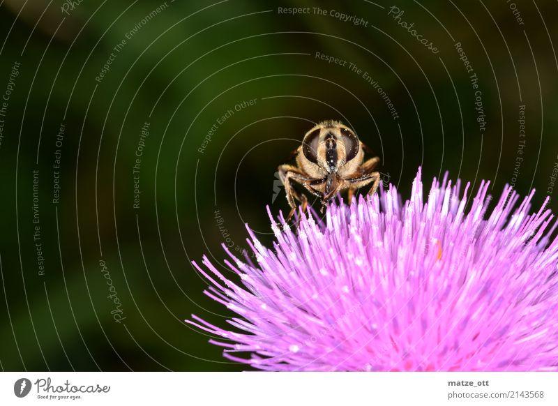 Schau mir in die Augen Natur Pflanze Tier Umwelt rosa Fliege sitzen Flügel Insekt Biene Fressen Nektar Distel Pollenflug Distelblüte
