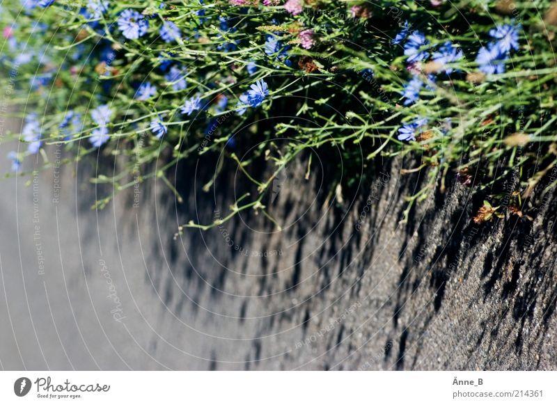 Gemeine Wegwarte Natur Blume grün blau Pflanze Leben grau Wege & Pfade Beton Wachstum einfach Blühend Licht Kräuter & Gewürze Heilpflanzen Wildpflanze