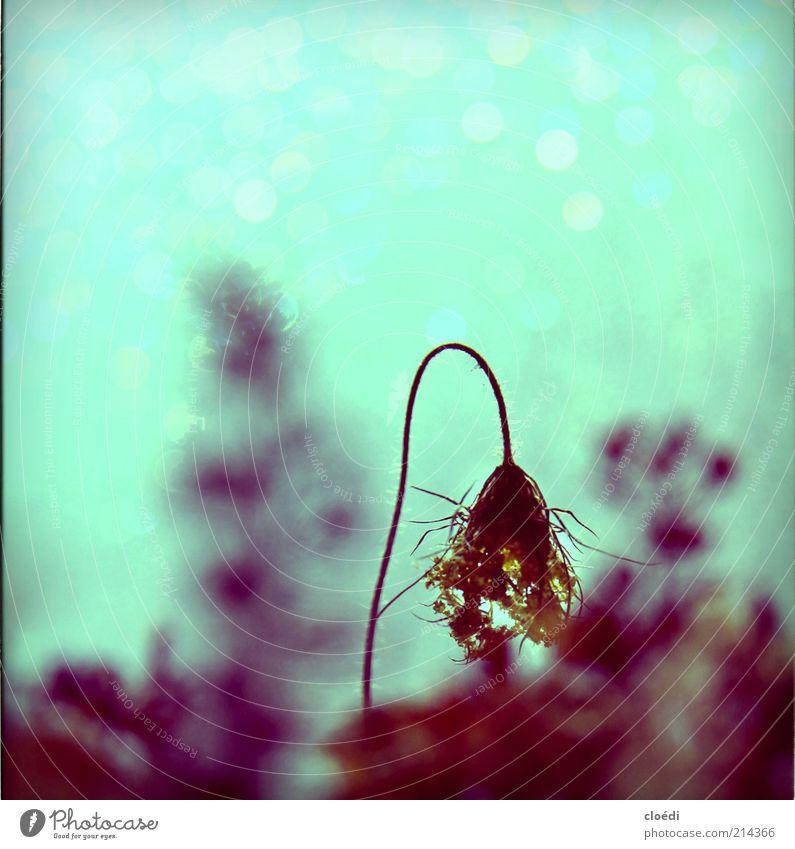 stimmung ii Blume grün blau Pflanze Winter ruhig schwarz kalt Herbst Eis Stimmung Umwelt Frost Wandel & Veränderung Vergänglichkeit Blühend