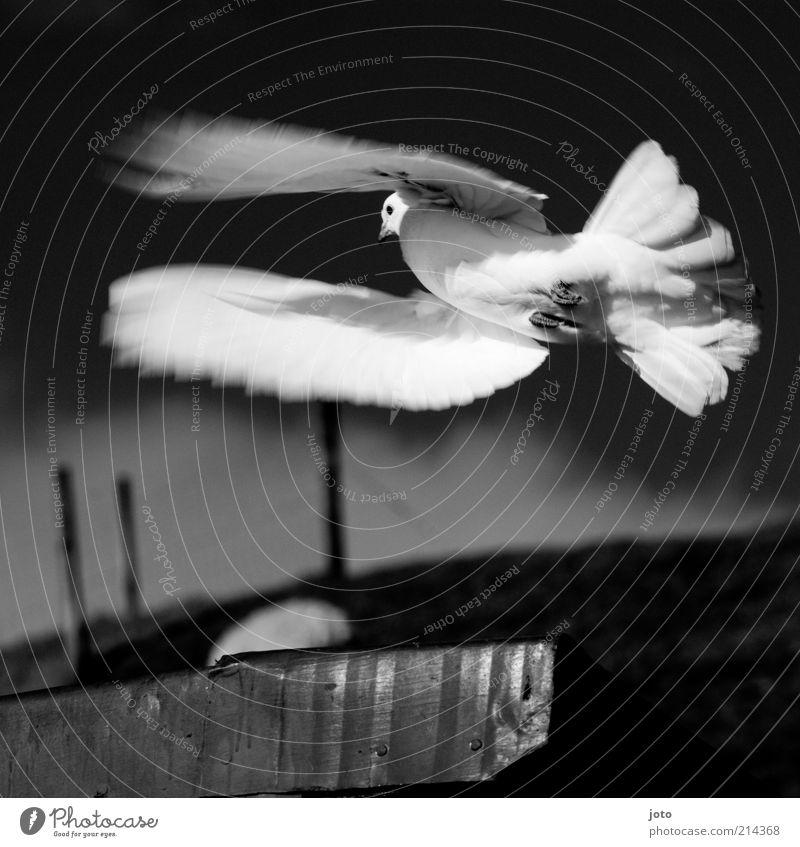 Taubenschlag Umwelt Natur Tier Vogel fliegen leuchten elegant ästhetisch einzigartig Freiheit Frieden Leben Leichtigkeit weiß Friedenstaube Bewegungsunschärfe