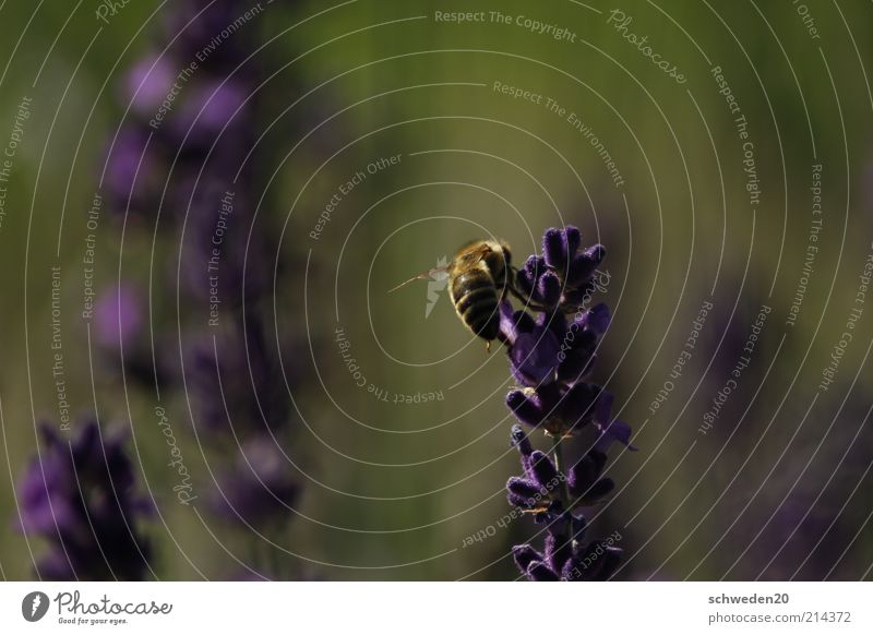 wieder....biene Natur Blume grün Pflanze Sommer Tier gelb Arbeit & Erwerbstätigkeit Blüte Gras Frühling Wärme Wetter Umwelt ästhetisch