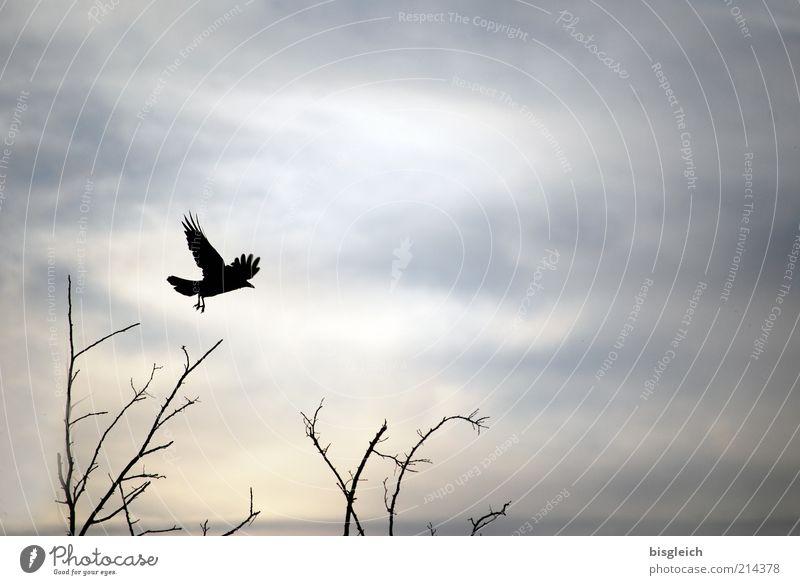 Start Himmel Sträucher Tier Vogel Flügel 1 fliegen grau Farbfoto Gedeckte Farben Außenaufnahme Textfreiraum rechts Abend Dämmerung Silhouette Landen