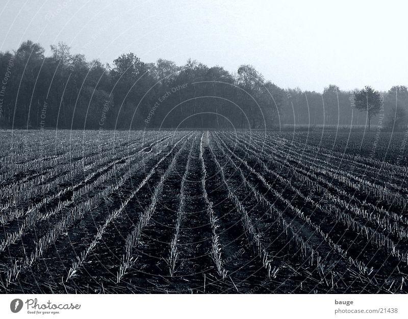 Stoppeln auf einem Maisfeld im Moor Herbst Feld Nebel Erde Nachmittag Moor Mais schlechtes Wetter
