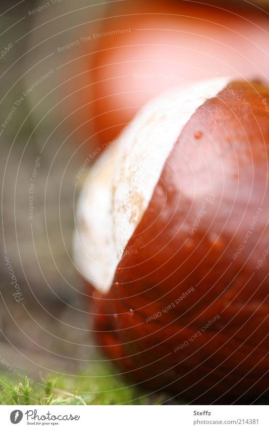 es herbstet mit Kastanien herbstlich Herbstbeginn Saisonende Bastelmaterial braun Herbstfärbung September Oktober nah warme Farben natürliche Farben